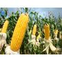 1 Kg Semente De Milho - Resistente A Lagartas E Roundup