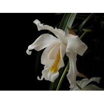 Orquidea Coelogyne Cristata - Mudas Adultas