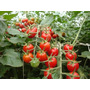 Kit Nutrientes Hidroponico Para Tomate Inicial Premium 1000l