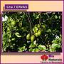O Chá De 7 Ervas Emagrecedor Natural - 150 Gramas - 273*
