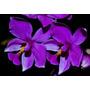 Orquideas Muda De Orquídea Spatoglotis Plicata