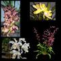 4 Orquídeas Adultas Chocolate + Branca De Neve + Cymbidium