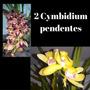 2 Orquídea Cymbidium Pendente Adulta Flores/planta Grandes