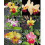 Muda Orquidea Adulta C/ Haste Botão Floral Escolha Na Lista