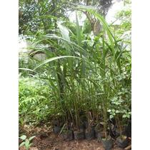 10 Mudas Palmeira Imperial 60cm Altura