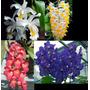 Kit 4 Orquídeas Coelogyne + Vanda + Dendrobium + Rodriguesia