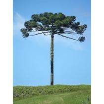 Mudas De Araucária (pinheiro Brasileiro)