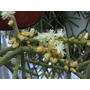 Rhipsalis Grandiflora - Duas Mudas Enraizadas!!!!