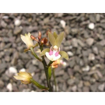 Orquídea Terrestre - Oeceoclades Maculata