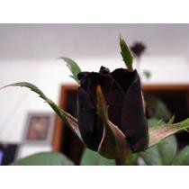 Kit C/ 10 Mudas - Rosas Enxertadas (2 Príncipe Negro)
