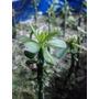 Pereskiopsis Spathulata - 10 Cortes Enraizados - P/ Enxertos