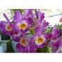 Orquídea Dendrobium Nobile Rosa Adulta Cachos De Flores