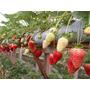 1000 Nutriente Fertilizante Hidroponia Indor Morango Tomate