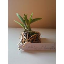 Orquídea Cattleya Elongata Plantada Na Placa Com Sphagnum