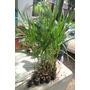 Mudas Palmeira Imperial 1,2mt De Altura Kit 4 Mudas