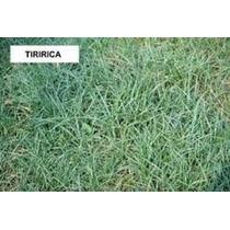 Herbicida P/ Gramado Mata Tiririca, ( Sempra ) 10 Gramas #