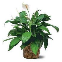 Planta Artificial Lírio Da Paz 85cm + Vaso Cachepot!
