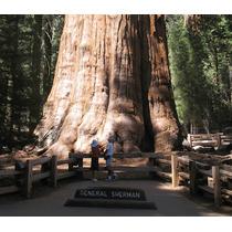 1 Muda De Sequoia Gigante (sequoiadendron Giganteum)
