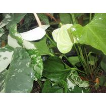 Antúrio Branco Leitoso - Natural - Cultivo Próprio 40,00