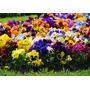 Sementes Belíssima Flor Amor Perfeito Gigante Crespo Sortido