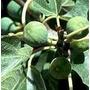 Mudas De Figo Fortes E Adaptadas 15,00 Cada Muda