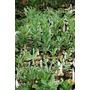Plantas Jovens De Adenium Obesum, Cores Diversas!