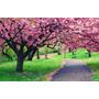 Mudas De Cerejeira Japonesa (prunus Serrulata)