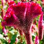 15 Sementes De Crista-de-galo !flores Ornamentais! Original