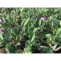 Cattleya Walkeriana Tipo (lilás) Lote De 10 Plantas Nbs