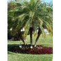 Mudas Palmeira Fênix ( 12 A 20cm )