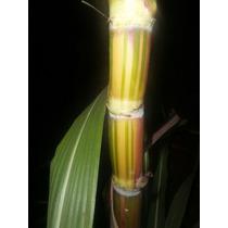Muda De Cana Caiana Brasileirinha Verde E Amarela-verdadeira