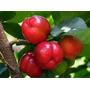 Acerola Gigante + Brinde 10 Sementes Maracujá Frete Gratis