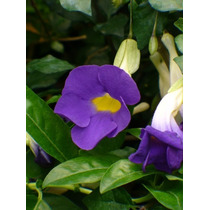 Muda Thunbergia Erecta Azul - Manto De Rei - Jardim Ou Vaso.
