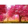 Mudas De Cerejeira Japonesa Rosa - Flores Lindas