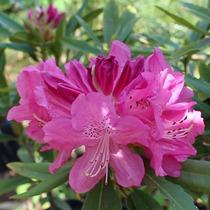 Mudas De Flores Rododendro Ou Azaléia Arbórea - Já Florem