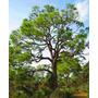 Mudas De Pinus Elliotti - Bonsai- Vaso E Madeira