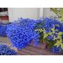 100 Sementes De Lobélia Azul Frete Grátis