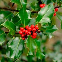 Mudas De Azevinho Ou Arbusto De Natal