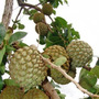 Semente De Marolo - Araticum - Annona Crassiflora