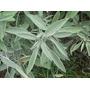 Sementes De Salvia Tempero Oficinalis Medicinal Aromatizante