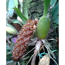 Bulbophyllum Careyanum - Corte Adulto