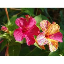 Sementes De Maravilha Dos Jardins Sortidas + Frete Gratis