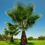 Belas Mudas Da Palmeira Washingtonia Robusta Com Mais De 1m!