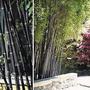 Sementes De Bambu Negro