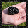 Amora Gigante Blackberry Triple Crown Sementes Para Mudas