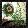 Stridolo Silene Baby Leaf - Sementes Erva Hortaliças P/ Muda
