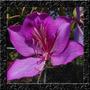 Pata De Vaca Roxa Bauhinia Purpurea Purple Sementes P/ Muda