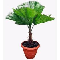 50 Sementes Da Palmeira Licuala Grandis 39,90 R$