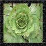 Chicoria Variegato Di Castelfranco - Sementes Hortaliças