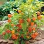 Physalis Fruta Exótica 500 Sementes + Brinde